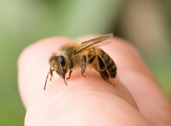 Чаще всего осы кусают в целях защиты