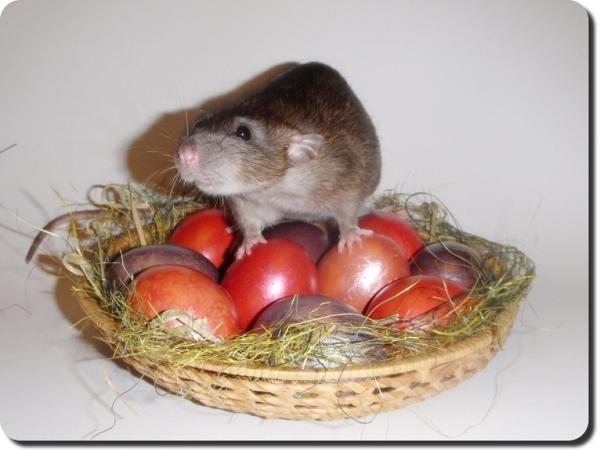 Крысы - не только переносчики инфекции, но они еще и не прочь полакомиться яйцами и воруют их в любой подходящий для этого момент