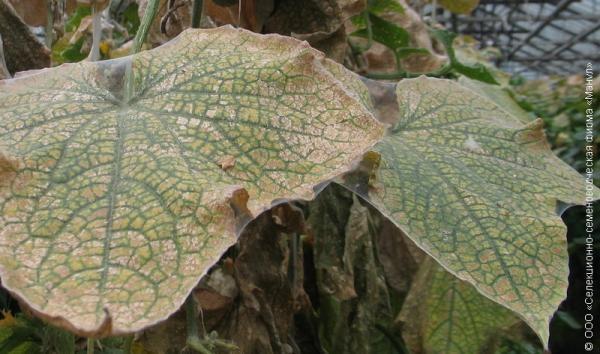 Паутинно-образный налет на листьях