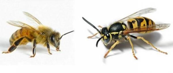 В чем отличие осы от пчелы