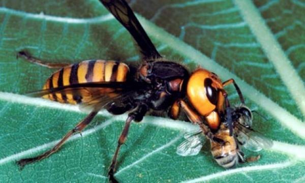 Шершень в сравнении с пчелой