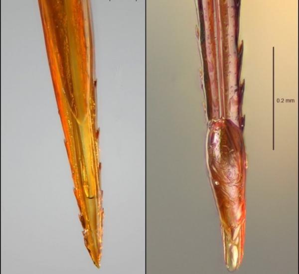 Слева жало осы, справа пчелиное
