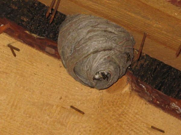 Осиный улей в деревянном доме