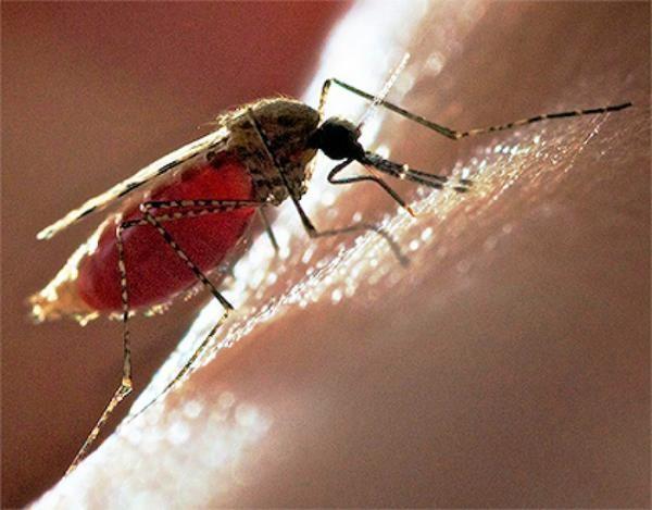 Комары являются переносчиками многих опасных заболеваний