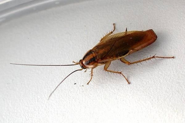 Рыжий таракан, или прусак