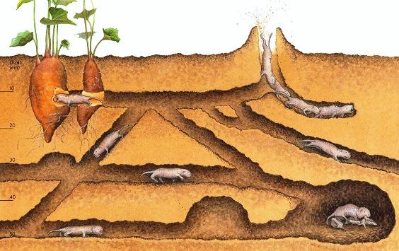 Под землей кроты вырывают настоящие лабиринты