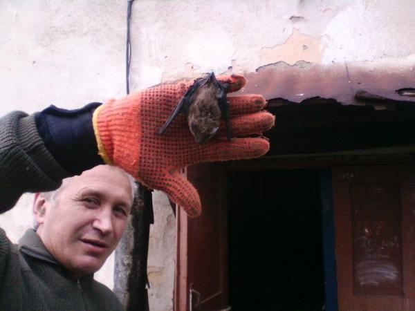 Производить контакт с летучей мышью можно только с помощью защитных перчаток, так как мыши - основные переносчики бешенства
