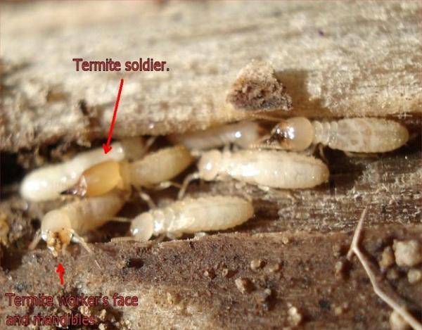 Личинки муравьев в деревянном полу