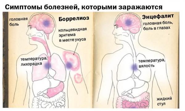Какие болезни переносят клещи