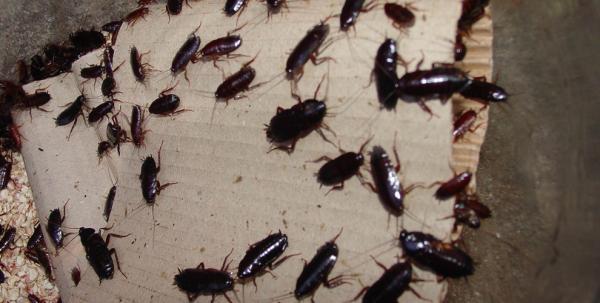Черные тараканы в квартире не редкие гости