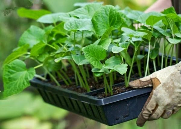 Как можно чаще меняйте место посадки огурцов