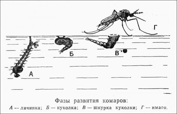 Фазы развития комара