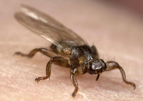 Второе название - лосиная муха клещ получил за наличие крылышек