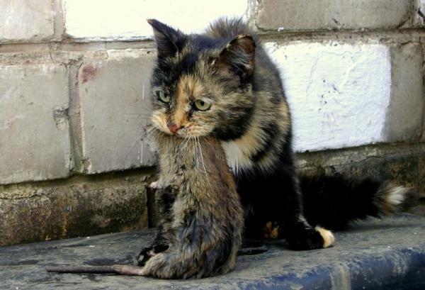 В день кошка может истребить до 10 грызунов
