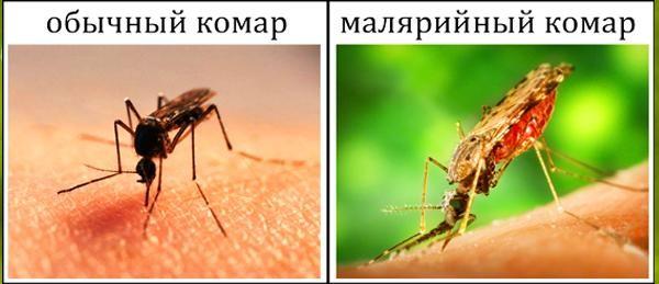 Разница между обычным и малярийным комаром