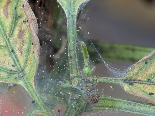 По паутине клещи перемещаются по растению