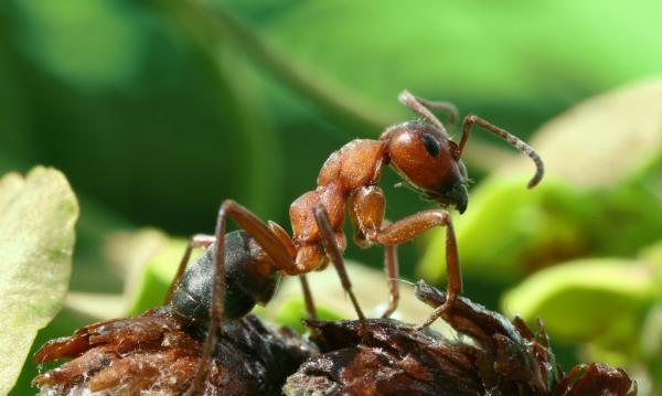 Как вывести муравьев с теплицы