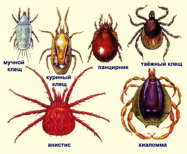 Основные виды клещей