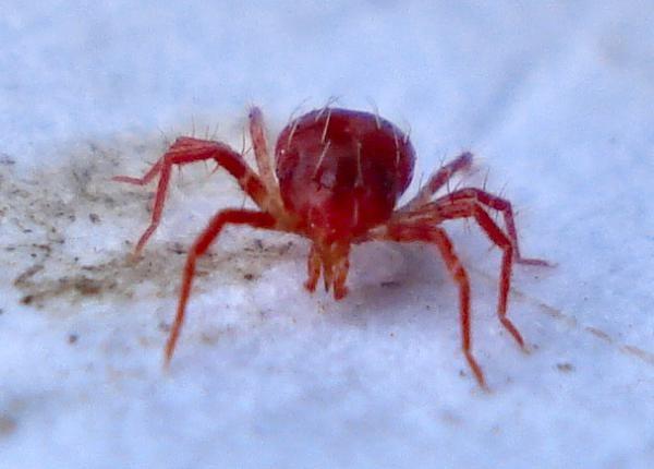 Фитосейулюс - естественный враг паутинного клеща