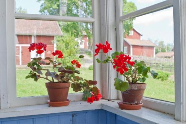 Украсьте окна горшочками с геранью - ее запах отпугнет насекомых