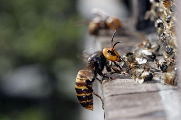 Иногда пчелы могут стать кормом для шершней