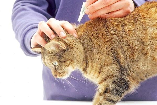 Капли от блох для кошек нужно наносить в область шеи