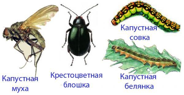 Основные вредители капусты