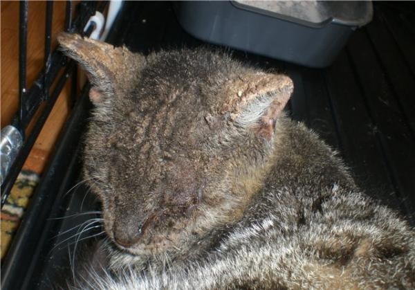 Демодекс у кошек