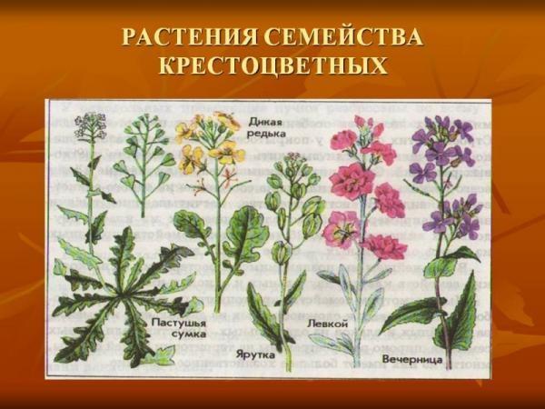 Ранней весной нужно убирать сорняки семейства крестоцветные
