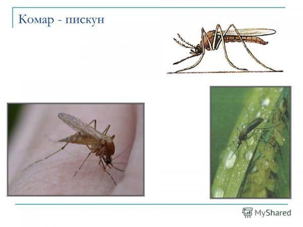 Чего боятся комары и мошки: какой запах отпугивает комаров, фото и видео