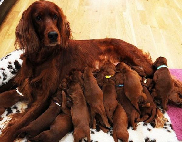 Запрещается обрабатывать беременных и кормящих животных