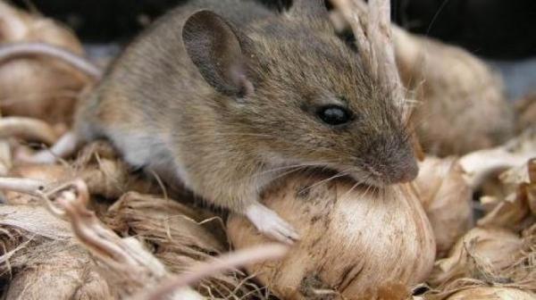 Мыши на даче