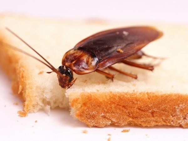Тараканы появляются там, где есть пища