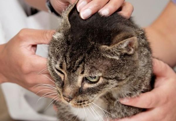 Как лечить ушного клеща у кошек