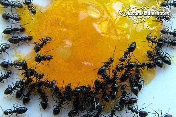 Появление муравьев в доме - неприятное явление: рассмотрим самые эффективные средства для борьбы с ними