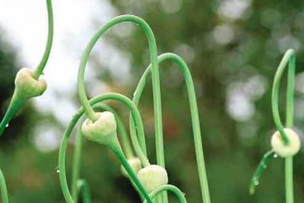 Стрелки озимого чеснока можно раскидать по участку, или привязать к деревьям