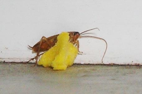 Находя приманку тараканы несут ее в гнездо, тем самым убивая сородичей