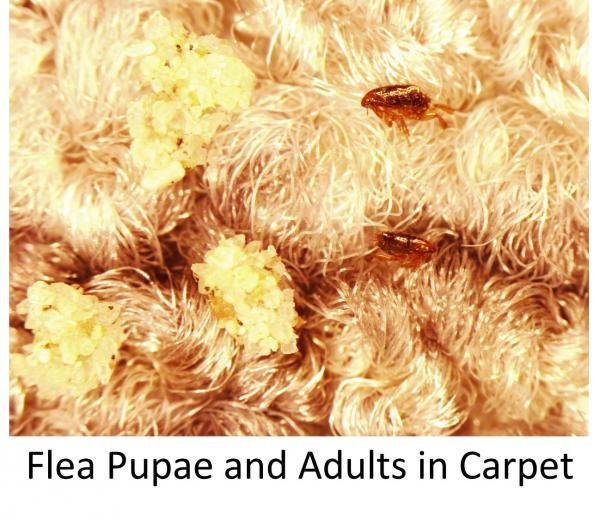 Блохи и личинки на ковре