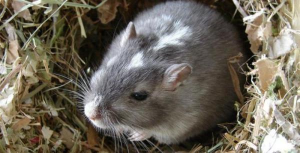 Земляная крыса достигает длины 25 см