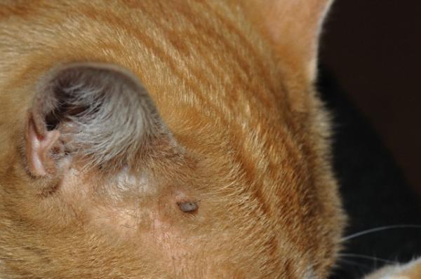 Кровосос у кошки