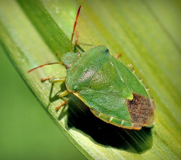 Зеленый паразит