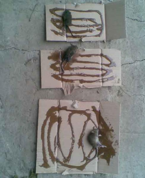 Клеевая ловушка для крыс