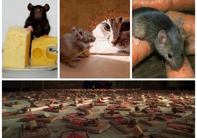 Как избавиться от назойливых мышей в квартире