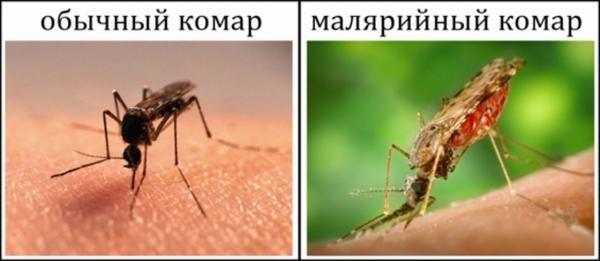Обычный и малярийный комар