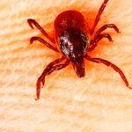 Чем опасен красный клещ?
