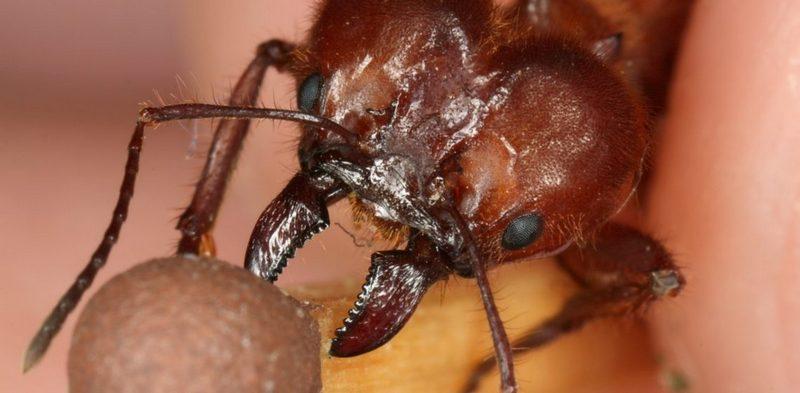 Что делать при укусе муравья