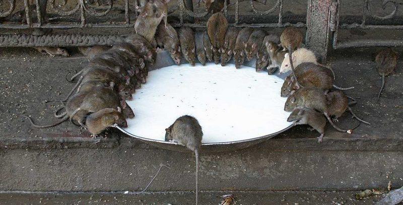 Действенный крысиный яд