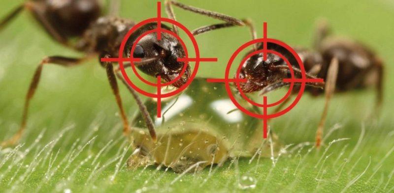 Эффективное средство от муравьев на даче