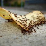 Как быстро избавиться от домашних муравьев?