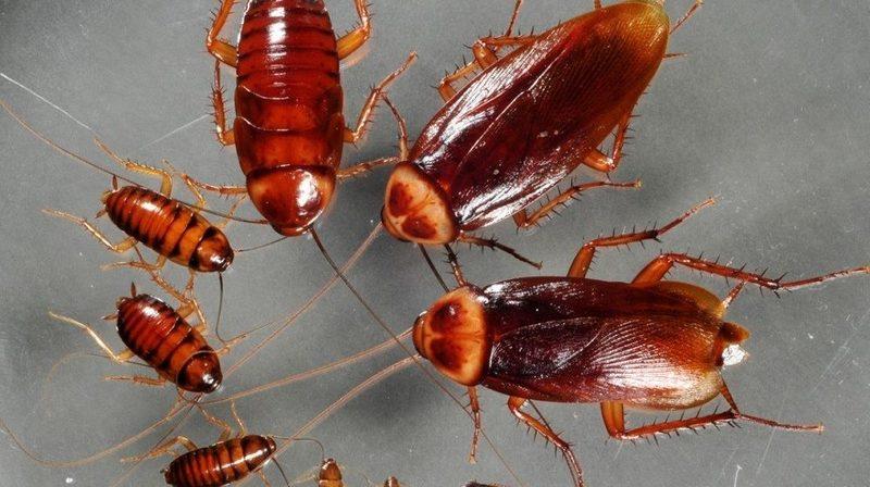 Как эффективно избавиться от тараканов народными средствами